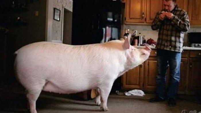 Kisah Babi Betina dengan Pengikut 1 Juta di Facebook