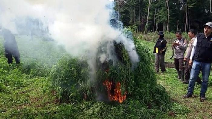Ganja Jenis Baru Asal Aceh Besar Dimusnahkan Oleh BNN