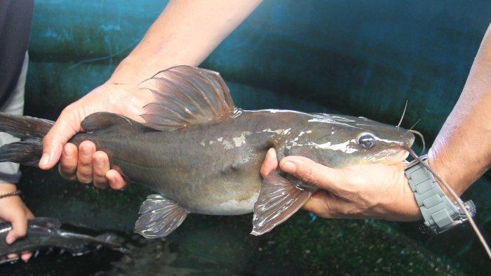 KKP: Komoditas Ikan Lokal Berpotensi Tingkatkan Kesejahteraan dan Gizi Masyarakat
