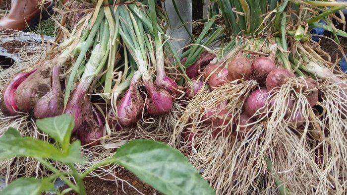 Bawang merah SS Sakato yang sukses dibudidayakan petani Solok, Sumatera Barat
