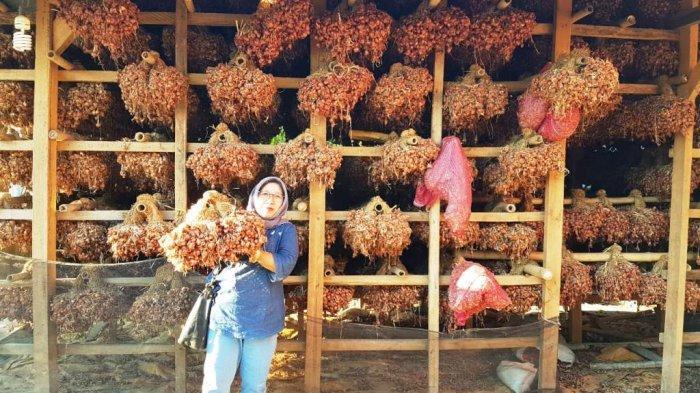 Bawang Merah Bauji Unggulan Jawa Timur Mampu Ditanam dengan Menggunakan Biji