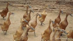 Lima Pria Curi 64 Ekor Bebek di Pulau Punjung Sumbar demi Bisa Main Game Online
