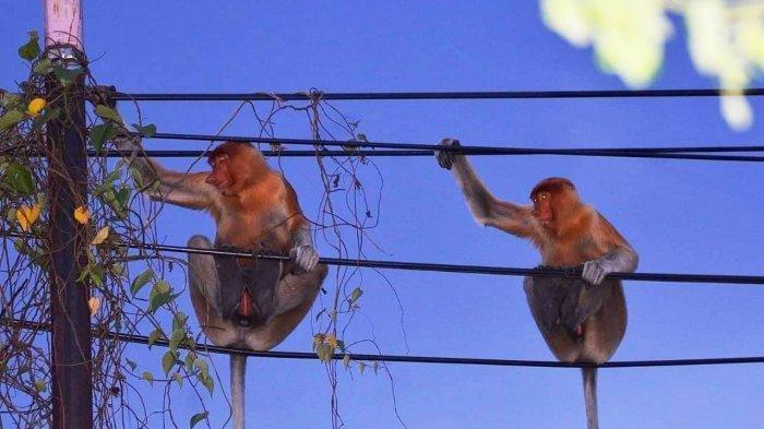 Dua ekor Bekantan jantan muda bertengger di atas kabel telepon