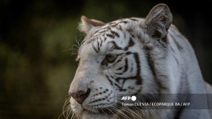Gambar selebaran yang dirilis oleh Ecoparque BA pada 10 April 2021, tentang harimau Bengal putih (Panthera tigris) Cleo, yang lahir di Kanada 12 tahun lalu dan merupakan daya tarik dari kebun binatang Buenos Aires yang sekarang dibongkar, di ibu kota Argentina. Dua harimau Bengal putih dirujuk ke
