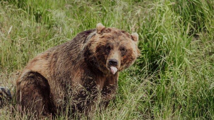 Beruang Teror Warga Harau Limapuluh Kota, Sempat Tertangkap tapi Lepas Lagi