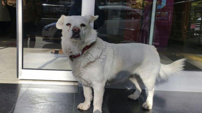 Anjing di Turki Setia Tunggu Tuannya yang Dirawat di Rumah Sakit