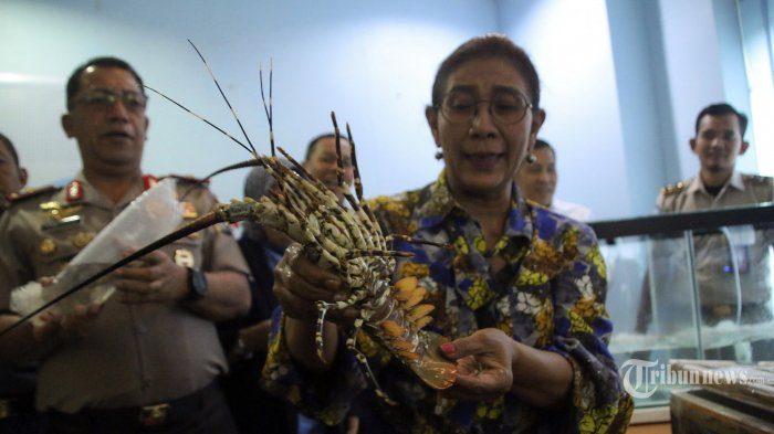 Susi Pudjiastuti Tak Setuju Ekspor Benih Lobster hingga Buat Permen, Pelaku Bisa Didenda Rp 10 M