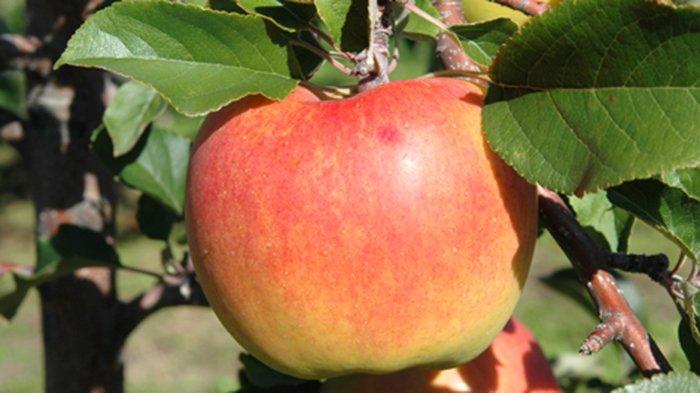 Buah apel Jepang yang terkenal dari Aomori