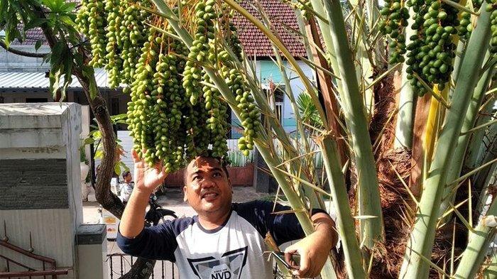 Cerita Pemilik Pohon Kurma yang Berbuah Lebat di Mataram, Cuma Buang Bijinya di Halaman Rumah