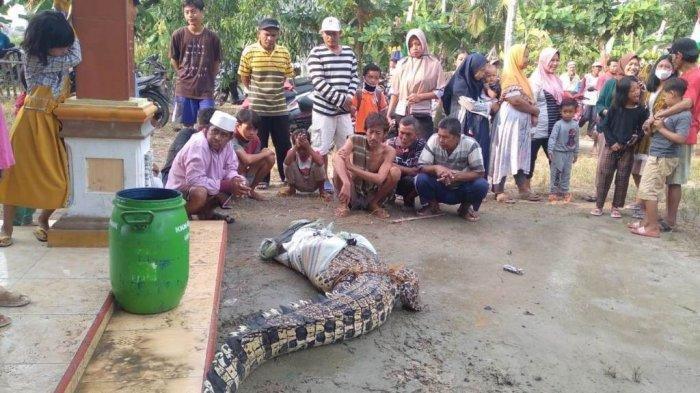 Penampakan Buaya Muara Berbobot 100 Kilogram yang Diduga Cari Tempat Bertelur di Lampung Selatan