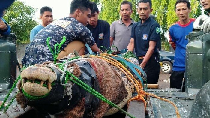 Kabur dari Empang dan Resahkan Warga Indramayu, Buaya Seberat 1 Kwintal Dievakuasi ke BKSDA Cirebon