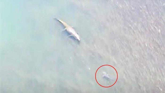 TEREKAM Kamera Drone, Buaya Monster dan Hiu Banteng Saling Berhadapan