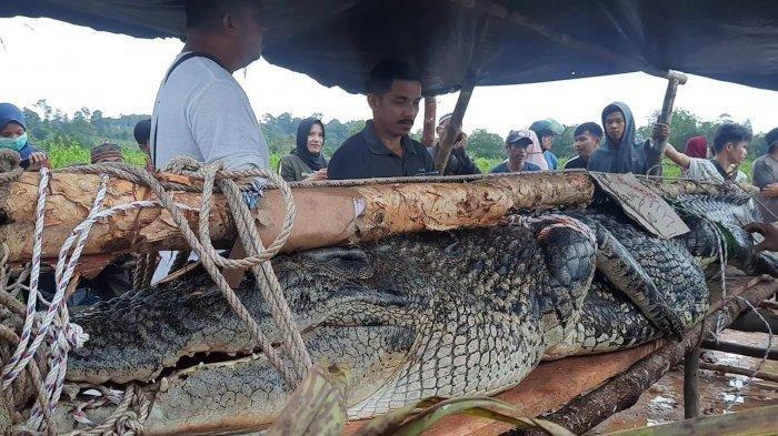 Suka Beri Makan Buaya, Pria Tanjungpandan Ini Hilang Diduga Diterkam Sang Monster Sungai