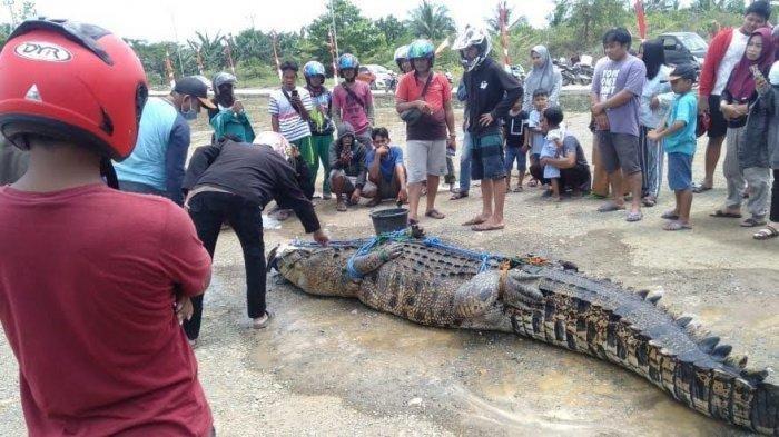 Warga Mamuju Tengah, Sulawesi Barat, menangkap buaya lima meter di Sungai Budong-budong, Kecamatan Topoyo. Buaya tersebut sebelumnya telah memangsa warga bernama Asrianto (25) saat hendak Buang Air Besar (BAB) di sungai.