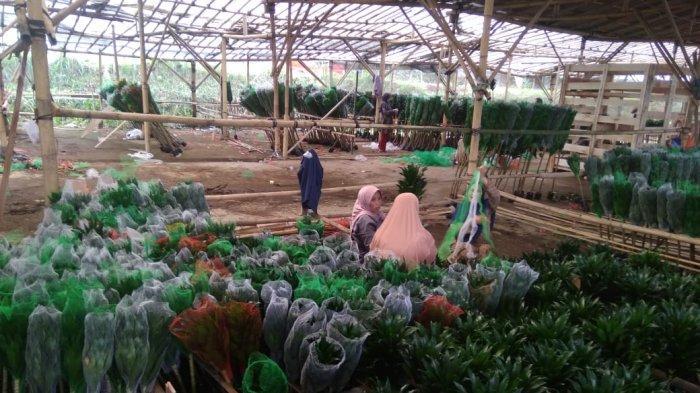 Ekspor 'Lucky Bamboo' Terus Meningkat di Tengah Pandemi Covid-19