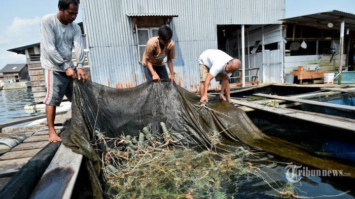Wacana Edhy Prabowo Legalkan Ekspor Benih Lobster, Pendapat Jokowi hingga Pesan Susi untuk Nelayan