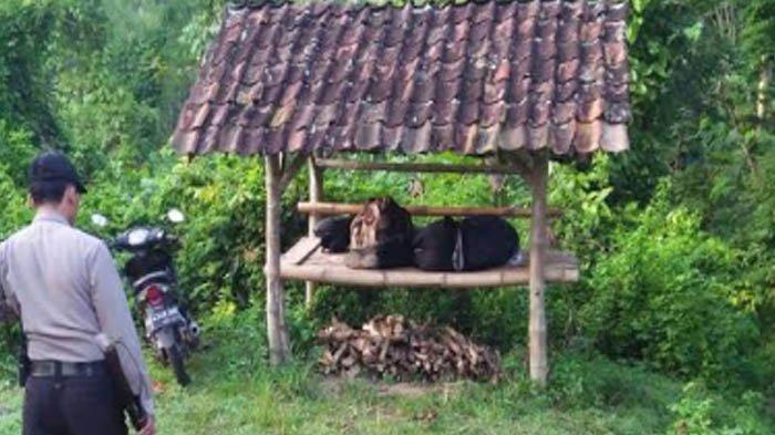 Bule 'Nyasar' Tidur di Gubuk Dekat Hutan di Tulungagung