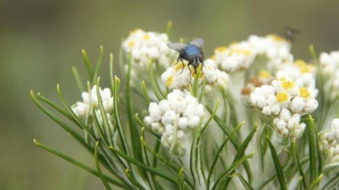 Fakta Menarik Di Balik Edelweis Bunga Abadi Yang Dilindungi Undang Undang Tribunnews Com Mobile