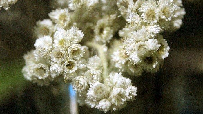 Mengenal Bunga Edelweis, Berikut Arti, Karakteristik dan Fakta Menariknya
