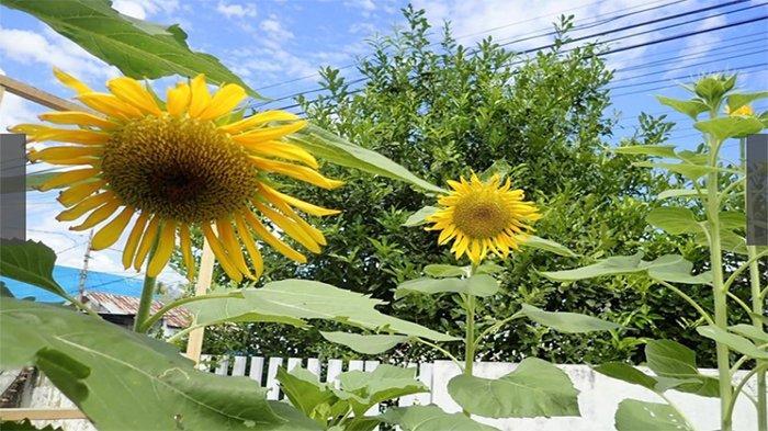 Tiga pohon bunga matahari (himawari) sedang mekar di Palu Sulawesi tengah saat ini lambang persahabatan Palu dan Jepang.