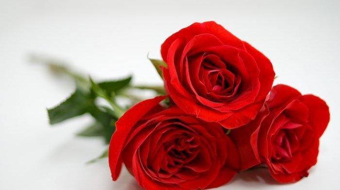 Cara Merawat Bunga Mawar di Rumah Agar Tumbuh Subur, Mudah dan Praktis