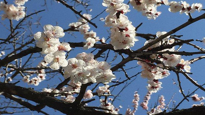Bunga Sakura mulai mekar, Kamis (21/3/2019) di Tokyo.