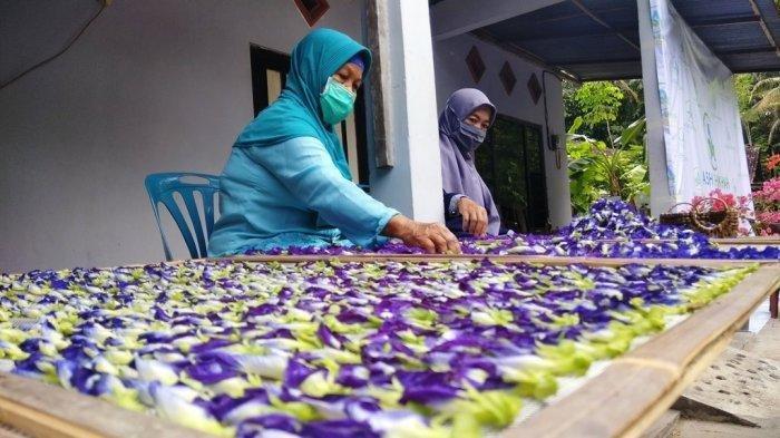 Bunga Telang sedang dijemur sebelum diolah menjadi aneka Produk ekonomis.