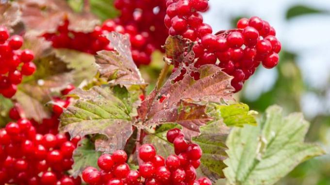Cranberry memiliki banyak manfaat bagi kesehatan.