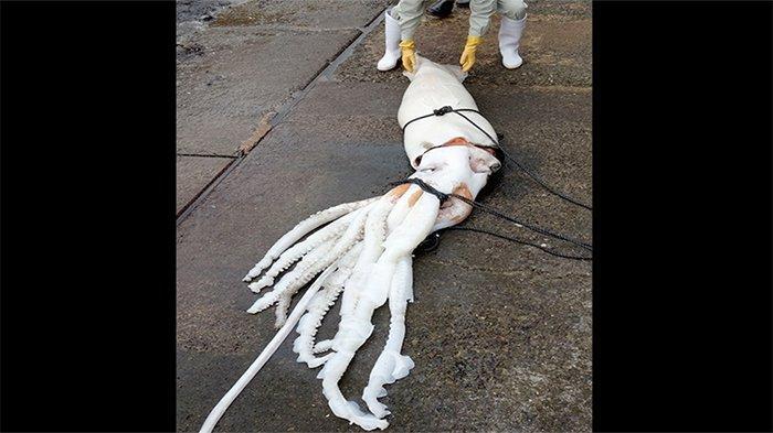 Cumi-cumi raksasa ditemui di lepas pantai pelabuhan nelayan Uku Kota Obama, Perfektur Fukui, Kamis (19/12/2019).