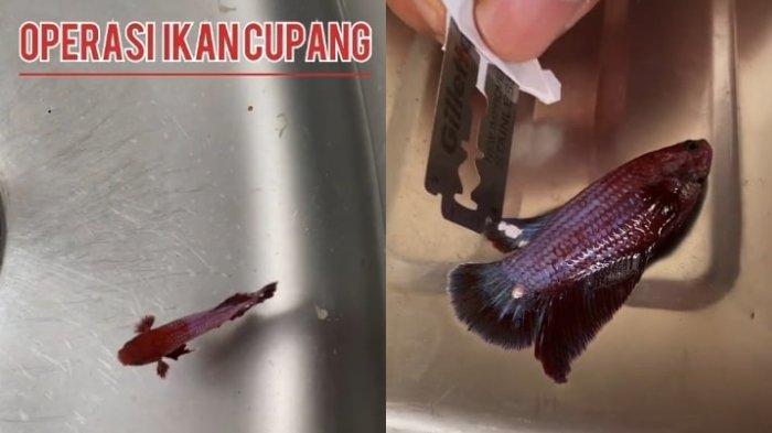 Kisah Pria asal Bali Operasi Ikan Cupang Peliharaannya, Bagikan Tips Agar Ikan Tak Gampang Sakit
