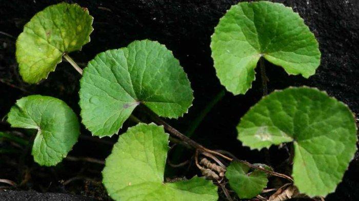 Manfaat Tumbuhan Centella Asiatica untuk Kesehatan Kulit Orang Tropis
