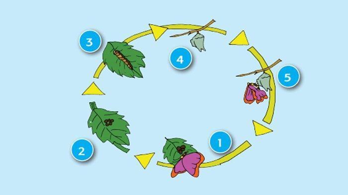 Pengertian Metamorfosis Sempurna dan Tidak Sempurna Dilengkapi Contoh Daur Hidup Kupu-kupu
