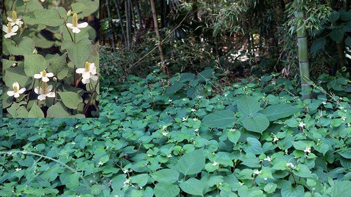 Dokudami tumbuh di belukar hutan basah, tepi sungai dan sebagainya, banyak ditemukan di Jepang ternyata untuk obat-obatan.