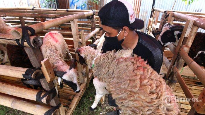 Pembeli memilih sejumlah domba kurban yang dijual di lahan terbuka di samping Pendopo Kota Bandung, Jawa Barat, Kamis (16/7/2020). Domba kurban yang berasal dari Garut, Tasik, dan Majalaya ini dijual dengan harga mulai Rp 1,8 juta hingga Rp 4 juta. Tribun Jabar/Gani Kurniawan