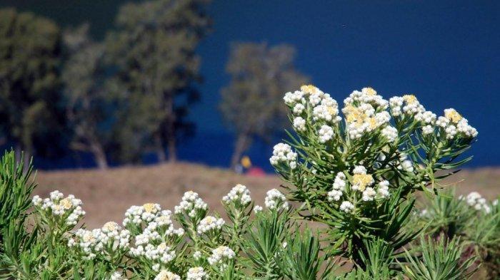 VIRAL Pendaki Wanita Petik Bunga Edelweis di Gunung Lawu, Tak Peduli soal Aturan: Cuma Dikit