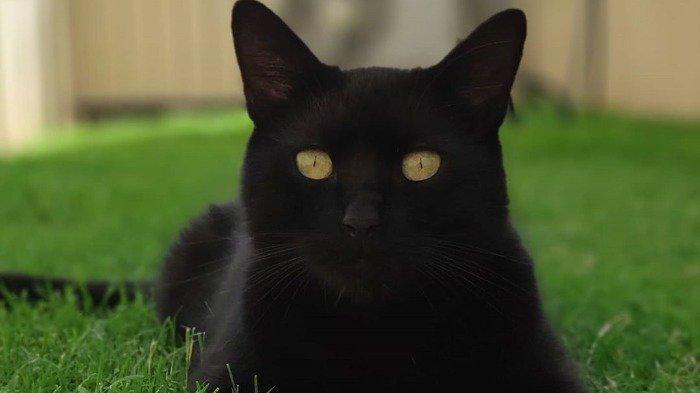 Fakta unik kucing hitam