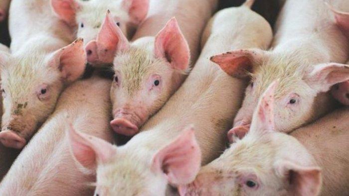 ILUSTRASI - Ilmuwan Klaim Virus G4, Flu Babi Jenis Baru yang Ditemukan di China, Bisa Jadi Pandemi