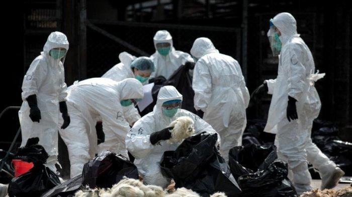 China Laporkan Munculnya Virus Flu Burung, Kemenkes Koordinasi dengan Kementerian Pertanian