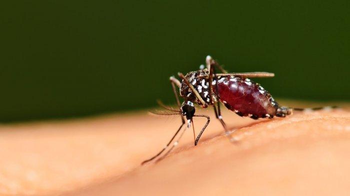 Nyamuk Aedes Aegypti, penyebab demam berdarah dengue.