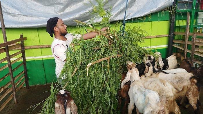 Foto ilustrasi kambing