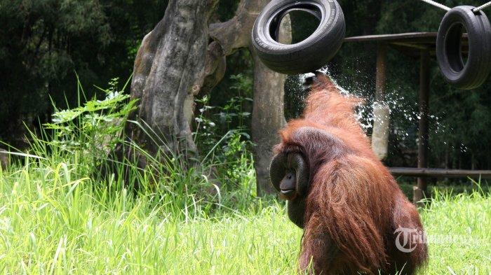 Malaysia Lakukan Tes Swab Covid-19 Terhadap Orangutan Kalimantan