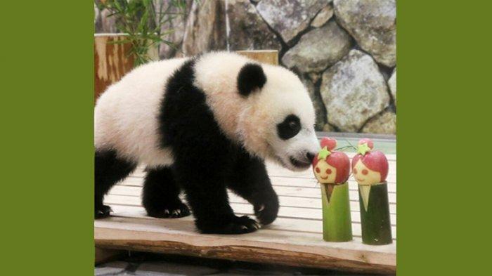 Panda Kecil Jepang Ikut Ber-Tanabata Matsuri, Jadi Pusat Perhatian Masyarakat
