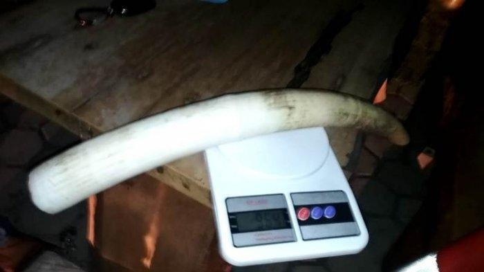 Tiga Pria Ini Jual Gading Gajah Seharga Rp 90 Juta, Tertangkap Saat Akan Transaksi di Pringsewu