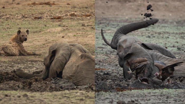 Foto-foto Induk Gajah & Anaknya Terjebak di Lumpur, Sempat Berjuang dengan Cara Ini Lalu Mati