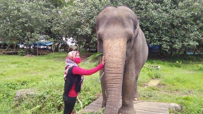 Kronologi Gajah Lepas dari Medan Zoo, Seberangi Sungai dan Masuk Perkebunan Warga, Videonya Viral