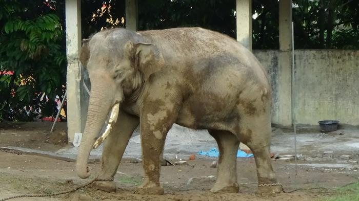 Taman Margasatwa Budaya Kinantan Bukit Tinggi Siksa Gajah