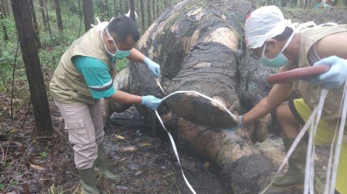 Tim BBKSDA Riau melakukan nekropsi terhadap bangkai gajah yang ditemukan mati di areal PT Arara Abadi di Desa Tasik Serai, Kecamatan Talang Mandau, Kabupaten Bengkalis, Riau, Selasa (19/11/2019)