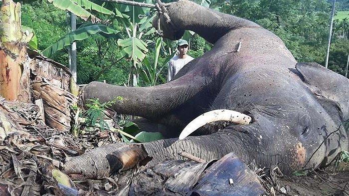 Seekor gajah jantan mati terjerat perangkap babi Gle Cut Gampong Tuha Lala, Kecamatan Mila, Pidie.