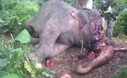 Kepala Gajah Terpenggal Ranjau Besi yang Dipasang Pencari Gading