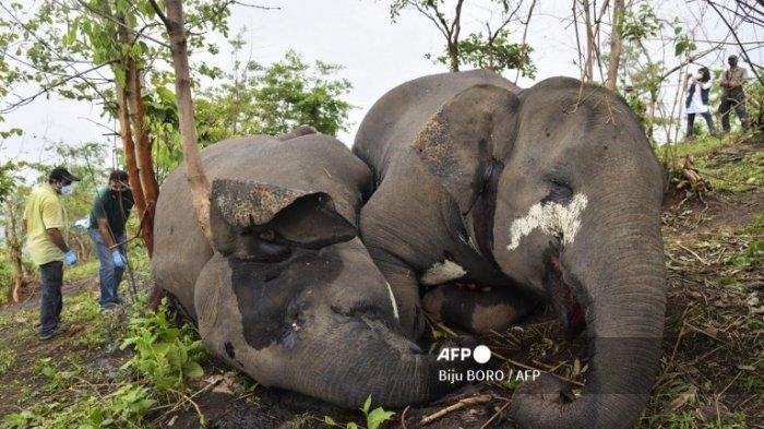 28 Gajah di India Jalani Tes Covid-19 Setelah Kematian Singa Langka